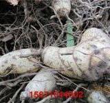 供应用于基地的白芨绿豆面膜祛痘消印