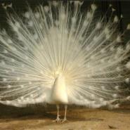 山东孔雀养殖场哪里有图片