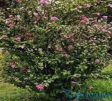 供应木槿5基地常年批发供应独杆木槿丛生木槿灌木木槿树苗批发