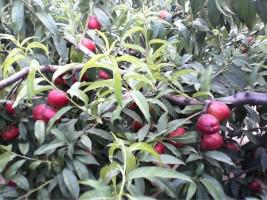 供应陕西油桃
