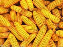 供应直销进口玉米