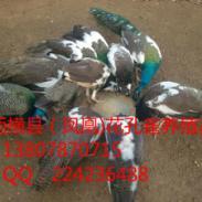 广西百色市大型白孔雀养殖场图片