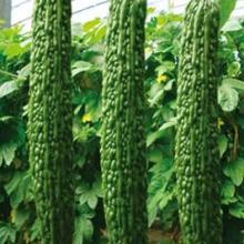 寿光绿兴种苗绿衣天使苦瓜种 寿光绿兴种苗绿衣天使苦瓜种子