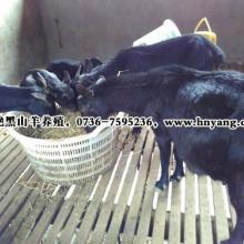 供应农村创业项目好膘情黑山羊养殖图片