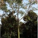 湖北移栽切杆栾树12公分15公分栾树图片