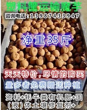 供应贵州魔芋种子、贵州花魔芋种子、贵州一代魔芋种子、贵州二代魔芋种子、贵州三代魔芋种子