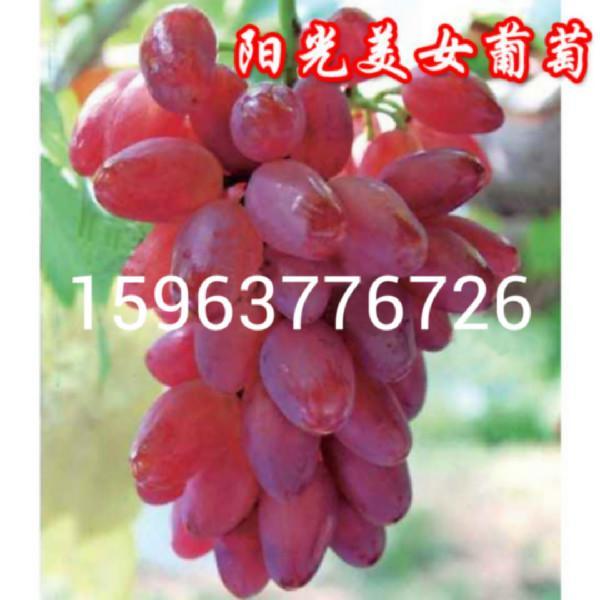 湖南长沙市葡萄苗