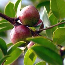 供应野生山茶籽