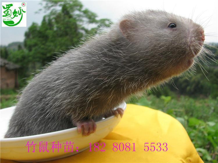 竹鼠种苗报价、图片、行情_竹鼠种苗最新价格