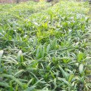 棕竹,漳州棕竹供应,20cm、棕竹漳州棕竹苗木全国批发价出售