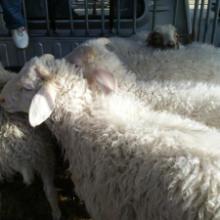 供应用于食用的宁夏滩羊羊肉价格批发