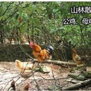 江西土特产绿壳土鸡蛋图片