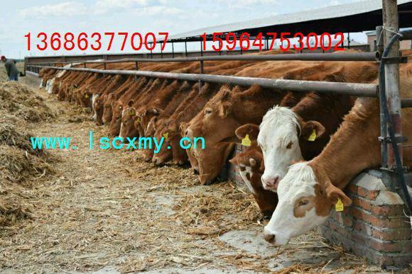 供应规模化小母牛养殖场小母牛价格西门塔尔牛肉牛养殖基地