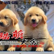 正规犬舍繁殖纯种金毛寻回猎犬图片